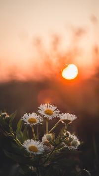 雏菊 花朵 小花 野花 太阳