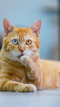 猫咪 宠物 异瞳 舔爪 橘猫