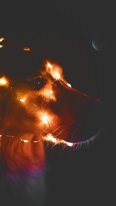 金毛 宠物 灯光 夜晚