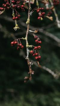 果实 山楂 浆果 枝头