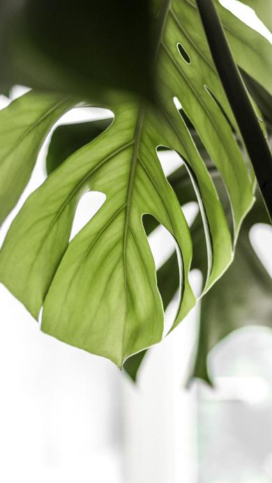 龜背竹 綠植 枝葉 綠葉