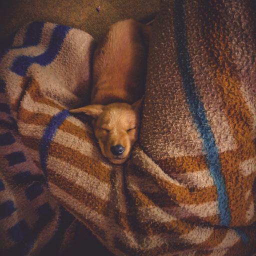 家庭 宠物 狗 汪星人 睡觉 被子