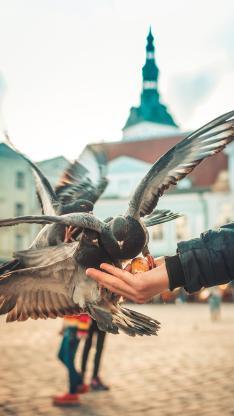 喂食 飞鸽 鸽子 飞鸟 面包