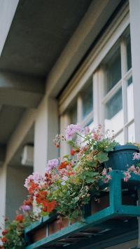 窗台 盆栽 鲜花 粉色