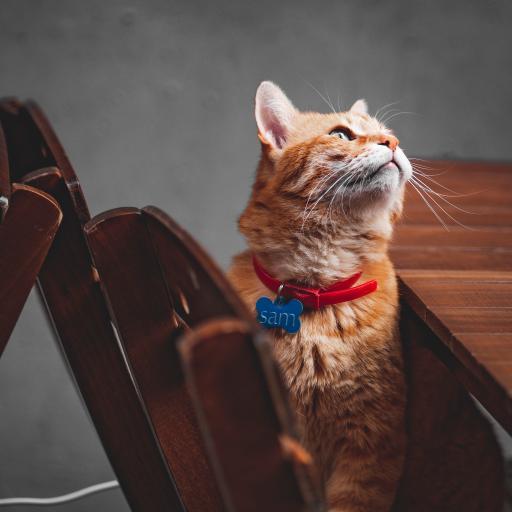 猫咪 宠物 橘猫 项圈