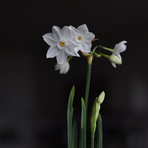 水仙 鲜花 花朵 观赏