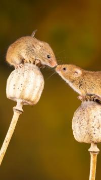 草本 植物 罂粟 老鼠