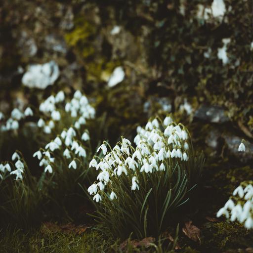 郊外 鲜花 铃兰花 白色