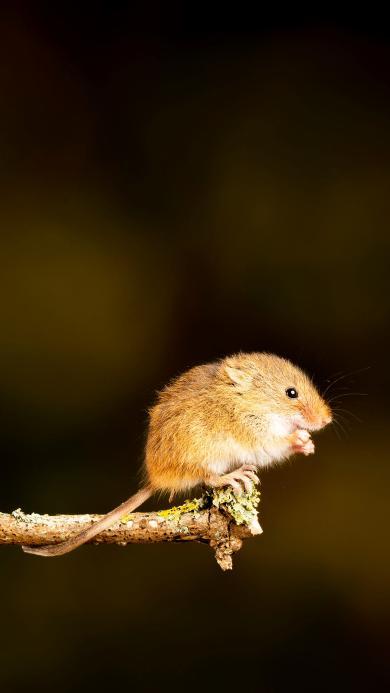 仓鼠 鼠类 树枝 枝头
