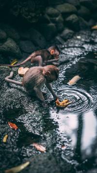 猴子 水池 落叶 野外