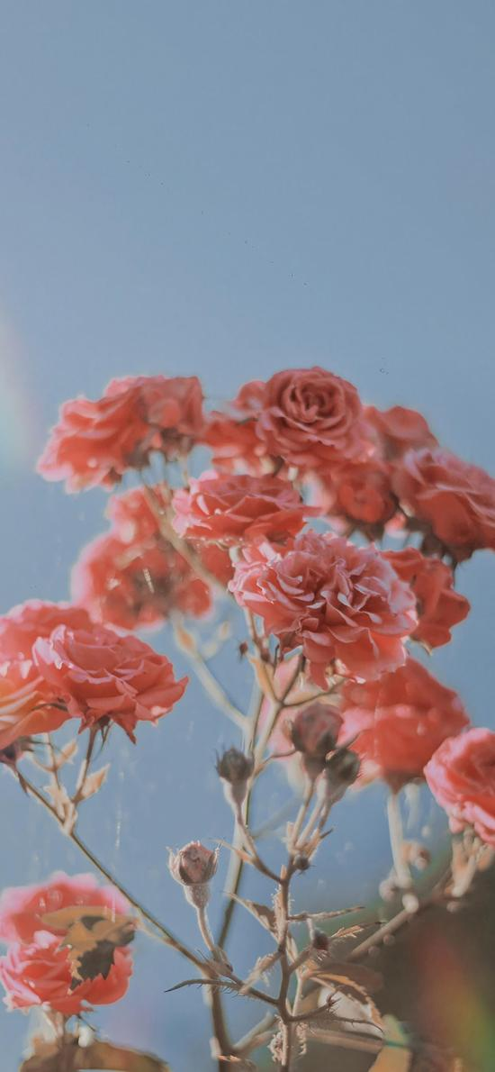 鮮花 盛開 粉色 指頭 茂盛
