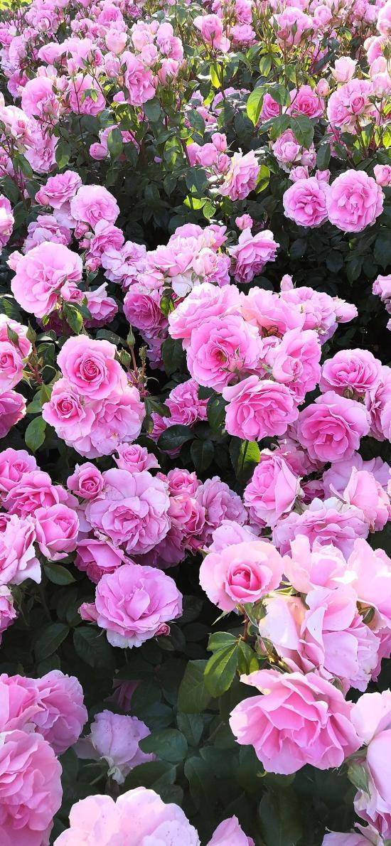 玫瑰 鮮花 盛開 粉色 浪漫