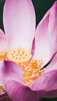 荷花 鲜花 花蕊 花朵