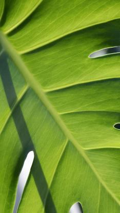 绿植 绿叶 龟背竹叶脉 纹理