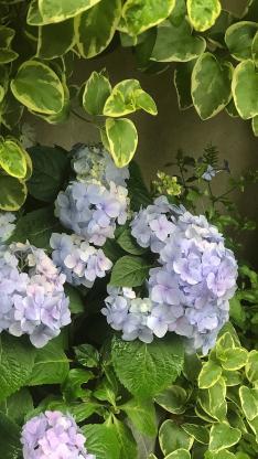 绣球花 鲜花 枝叶 盛开
