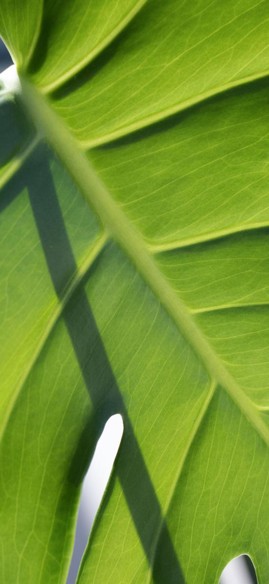 綠植 綠葉 龜背竹葉脈 紋理