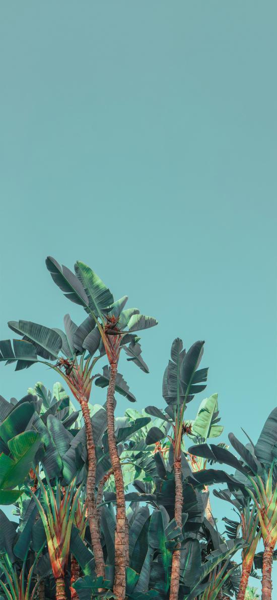 芭蕉 叶子 种植 植被 绿色