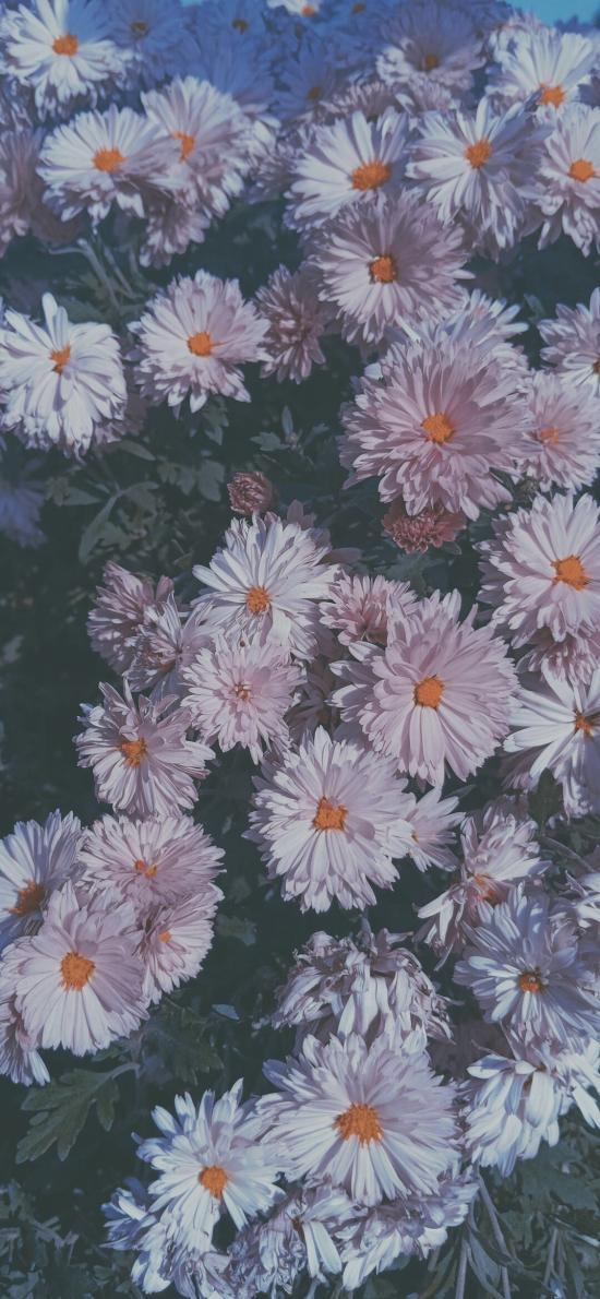 菊花 鮮花 盛開 綻放