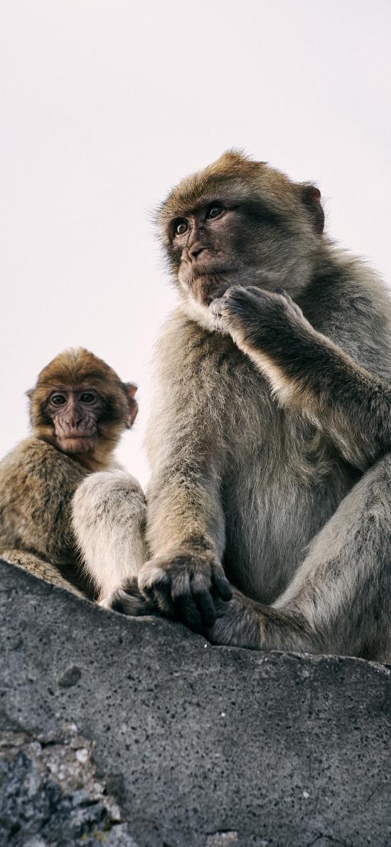 猴子 猿類 聰明 毛發