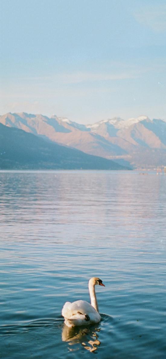 天鵝 湖水 游水 山