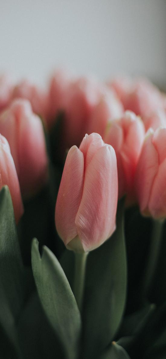 鮮花 荷蘭國花 郁金香 粉色