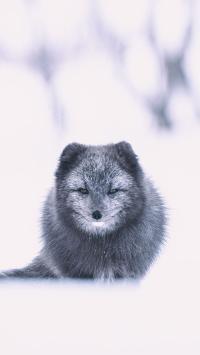 雪地 冬季 狐狸 毛发