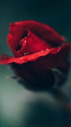 鲜花 玫瑰花 含苞待放 鲜艳