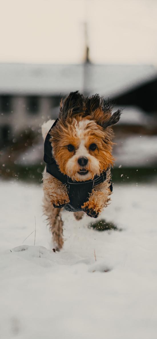 雪地 寵物狗 汪星人 奔跑