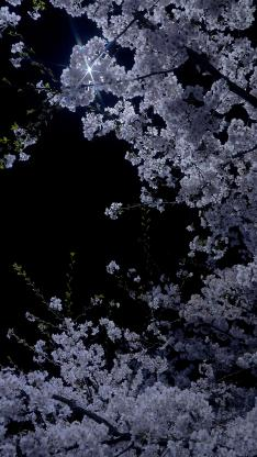 櫻花 鮮花 夜晚 鮮花 盛開