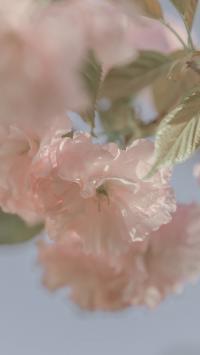 樱花 鲜花 粉色 枝叶 盛开
