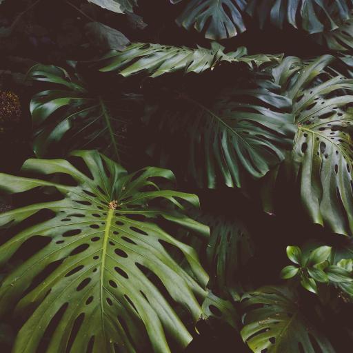 绿植 龟背竹 种植 树叶