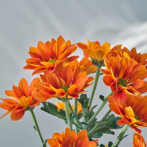 鲜花 花朵 花束 菊花