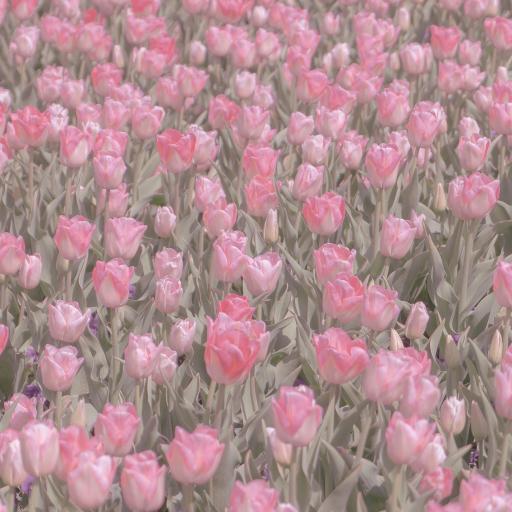 郁金香 鮮花 花海 盛開 粉色 春天
