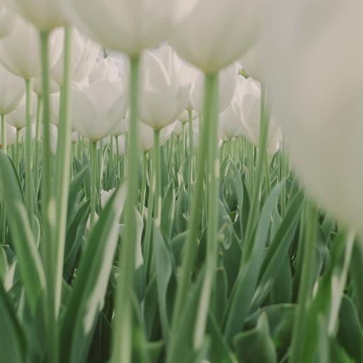 郁金香 枝干 綠色 鮮花 盛開 花海
