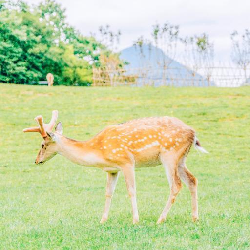 梅花鹿 草坪 畜牧 養殖