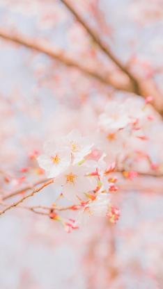 樱花 鲜花 盛开 粉色 枝头 春天