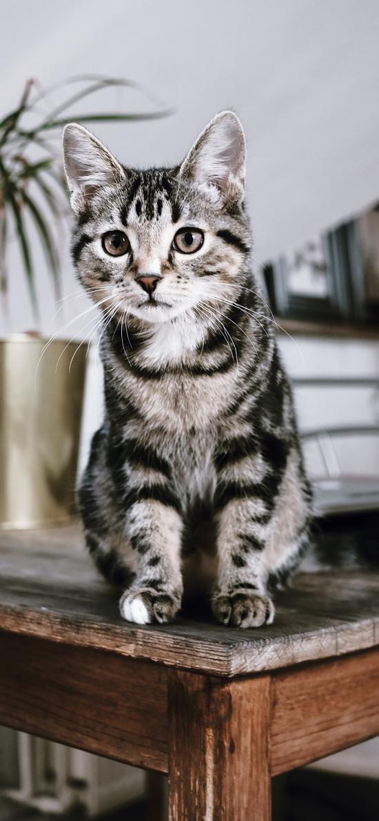 猫咪 宠物 灰白 桌子
