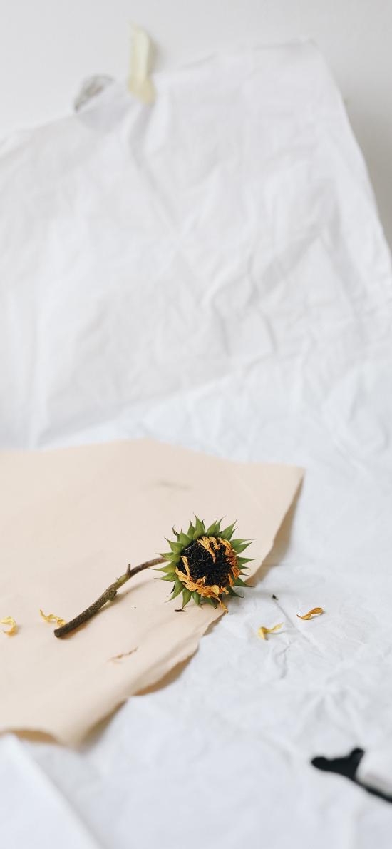 静物 向日葵 纸张 花朵 葵花