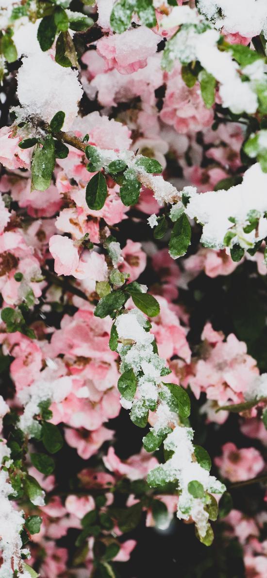 霜花 鲜花 冬季 盛开 枝叶 雪花
