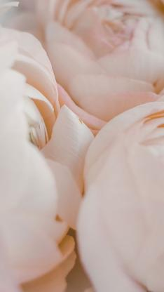 花毛茛 鲜花 粉色 特写