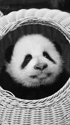 熊貓 可愛 幼仔 國寶
