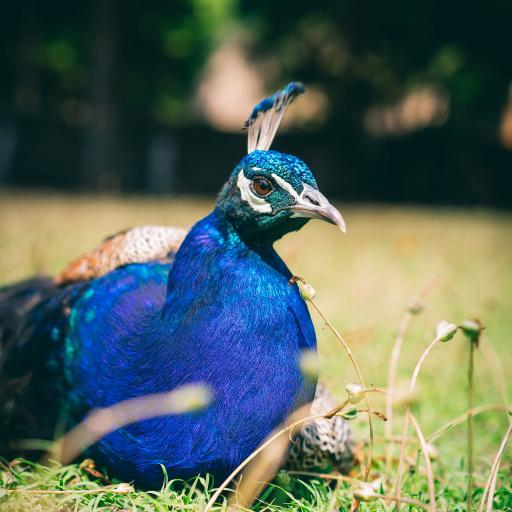 孔雀 草地 鸟类 羽毛
