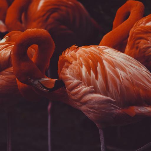 火烈鸟 羽毛 翅膀 红色