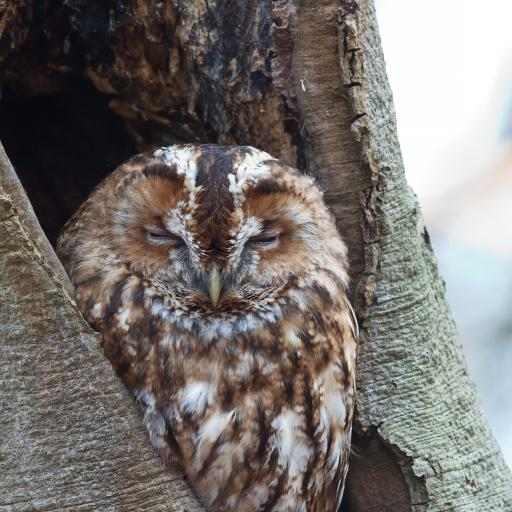 猫头鹰 树干 休憩 夜视 鸟类