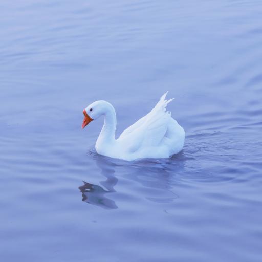 鹅 湖水 蓝色 羽毛 水面 禽类