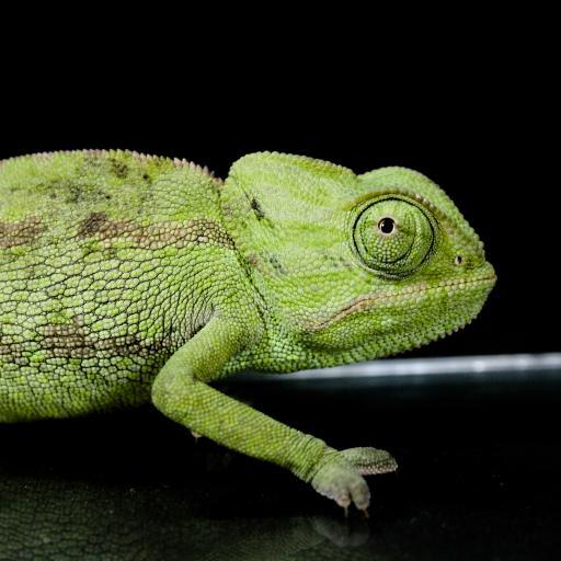 变色龙 蜥蜴 绿色 爪子 爬行