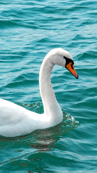 天鹅 水禽 水面 湖水