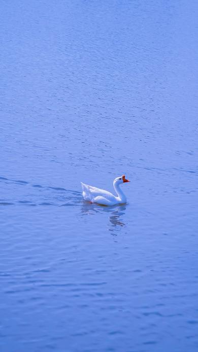 鹅 湖水 蓝色 羽毛 水禽