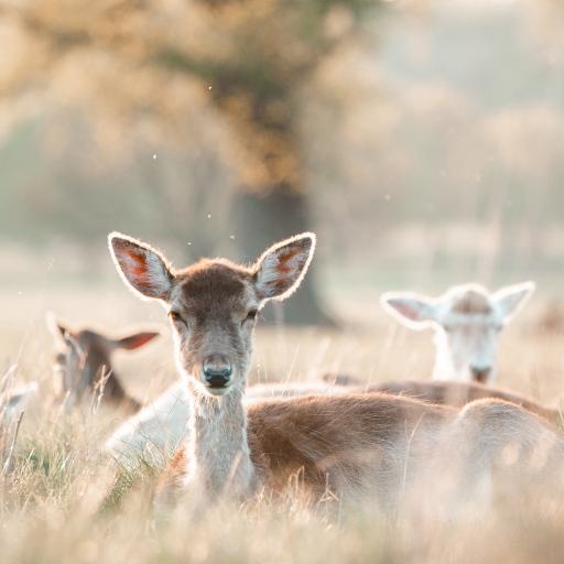 郊外 草丛 小鹿 群居
