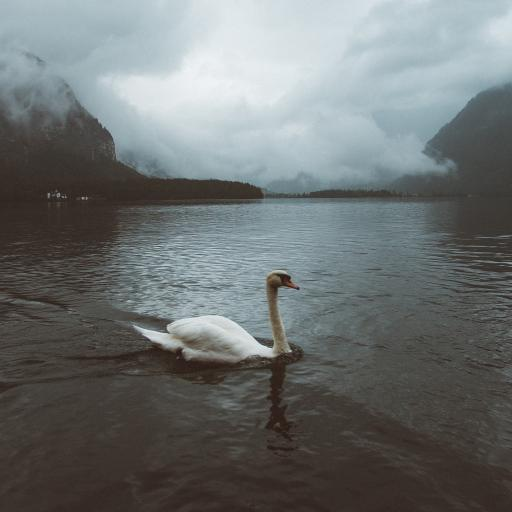 天鹅 湖水 水面  翅膀